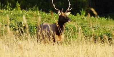 Rena Elk