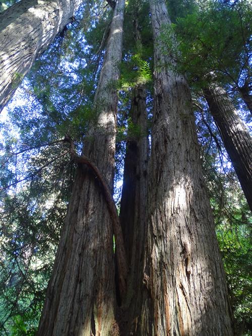 Redwoods USA California
